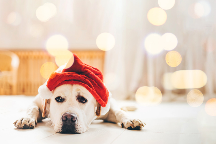 Sad dog in Santa's hat lying on floor at home.